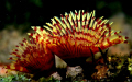   beautiful Christmas tree Worm Sabellidae Annelida Okha Gujarat.Those are also known Feather dusters. Gujarat. Gujarat dusters  